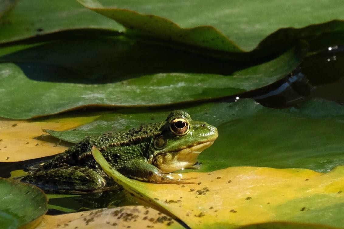 Frog on Waterlily-1